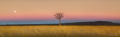 Together again..... (Adam_Williams) Tags: panorama moon adam field canon williams f14 pano australia panoramic full fullmoon ii western wa 5d outback 24mm minimalism kimberley mk boab creak parrys