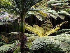 New Zealand native bush- Nikau palm and tree ferns (loveexploring) Tags: newzealand fern tree palm northisland warkworth aucklandarea