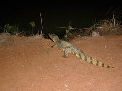 Caman  lunettes (Bltrk) Tags: brazil canal reptile lunettes nuit irrigation cailles brsil goias caman caimancrocodilus luisalves luisalvez