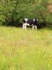 "Cow in a Meadow • <a style=""font-size:0.8em;"" href=""http://www.flickr.com/photos/90155795@N05/8201892338/"" target=""_blank"">View on Flickr</a>"