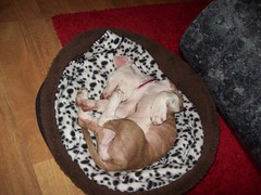 Pennys bed (bluebirdlost) Tags: california dog pets cute dogs puppy happy photography photo nice puppies funny lol mini pit bull rednose pitbull goodshot bluenose pittbull ukc pitty americanpitbullterrier