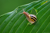 Taking a Shortcut (Vie Lipowski) Tags: nature wildlife snail hosta detritivore