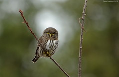 Northern Pygmy-Owl (Glaucidium gnoma) (Photography Through Tania's Eyes) Tags: canada tree bird nature animal fauna photography photo bill wings flora nikon photographer bc image britishcolumbia okanagan wildlife branches feathers photograph owl birdofprey okanaganvalley peachland northernpygmyowl glaucidiumgnoma copyrightimage nikond7000 taniasimpson allofnatureswildlifelevel1 allofnatureswildlifelevel2 allofnatureswildlifelevel3 allofnatureswildlifelevel4