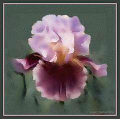 Iris Cranberry Wine  watercolor (edenseekr) Tags: iris watercoloreffect digitallypainted
