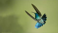 Violet eared Hummingbird (Raymond J Barlow) Tags: bird art nature costarica hummingbird wildlife adventure avian nikond300 raymondbarlowtours
