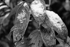 Garten Planzen Winterbeginn 28. Oktober 20120003 (AndreasRodler) Tags: pflanzengartenwinter bltter schnee sw