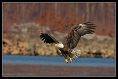 Susquehanna Cruising {EXPLORED} (DTT67) Tags: portrait photoshop eagles susquehanna baldeagles conowingo canon60d canon400mm