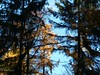 Larch and spruce trees (joeke pieters) Tags: autumn fall pinetree forest woods herfst larch bos lariks dennenboom aarninkbos aarnink panasonicdmcfz150 1030634