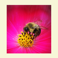 my little honeybee ('pixler') Tags: pictures camera november flowers autumn fiction toronto ontario canada art fall film nature swansea digital photoshop computer photography graphics flickr image hexagonal manipulation bee honey squareformat lakeshore etobicoke nectar species wax flickrverse create pollen blooms fx honeycomb honeybee flickrfriends edit flicker 2012 hives colonies nests apis queenbee flickrites thebigsmoke flickrland royaljelly swarms foodsource artography photographicarts flickrmates flickrship lakeontario artographx pixler blinkagain bighugz digitalink humberbay humberriver adventuretrail humbercrossing
