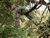 Kivanch (Hindi: किवांच) (Dinesh Valke) Tags: vine tropical climber shrub fabaceae tender picapica perennial peafamily papilionaceae gratter ojodebuey beanfamily legumefamily gratey mucunapruriens carpopogonpruriens dolichospruriens mucunaaterrima mucunacochinchinensis mucunaesquirolii mucunanivea mucunaprurita stizolobiumaterrimum stizolobiumdeeringianum stizolobiumniveum stizolobiumpruriens stizolobiumpruritum achariyapalle akangkangdangkulo akolchi chiporro juckbohne jukboontje kekaragatal kothca kramé kratzbohnen mamui mayueang mácmèo mucunaceniza ojodevenado poilàgratter poisgratter poispouilleux poisvelu yerepe kandura