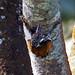 Hathikhira Birds-484 - Chrysocolaptes lucidus