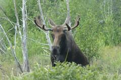 Shiras Moose (Alces alces shirasi) DDZ_4107 (NDomer73) Tags: mammal august moose 2012 grandtetonnationalpark shirasmoose 10august2012