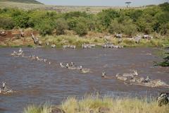 Great Migration (www.kenyanonsolosafari.com) Tags: kenya safari zebra migration gnu wildebeest masaimara savana greatmigration mara masai migrazione gnu
