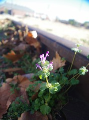 Henbit on Rails (piratetuba) Tags: railroad flower purple rail bloom arkansas fortsmith wildflower henbit lamiumamplexicaule railbed trolleymuseum
