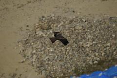 (ddsnet) Tags: travel birds japan sony birding 99 raptor  nippon  birdwatching nihon slt birdofprey kyushu backpackers        sagaken       karatsushi     birdwatchinginjapan singlelenstranslucent   99v