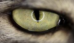 Zoola's right eye (teddy1beer) Tags: pet macro eye look cat canon 60mm 600d flickrstruereflection1