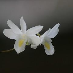 for Helianne (h.nijssen5 IN SURINAME NOW) Tags: orchidee helianne orchid flor fleur flres flower white duifjesorchidee pigeonorchid dendrobium
