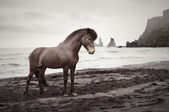 Spuni (Ggja Einars..) Tags: sea wild horses urban horse nature beautiful animals vintage landscape iceland soft spirit gorgeous second mystical traveling spiritual stallions viking magical stallion equine nttra mane icelandic einars icelandichorse hestur icelandichorses hesturinn slenski einarsdttir ggja gigja gigjaeinarsdottir vikmyrdal icelandischespferde