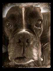 Fonz (jjamv) Tags: dog chien pet pets brown white reflection cute texture co dogs animal animals cane sepia puppy nose eyes friend canine hond boxerdog perro hund boxer billy mansbestfriend boxing fonz mydogbilly jjamv blinkagain vpu1 julesvtravel picmonkey vigilantphotographersunite vpu2 vpu3 vpu4 vpu5 vpu6 vpu7 vpu8 vpu9 vpu10 vpu20xl10awards