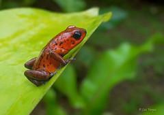 Oophaga pumilio (luvaduju09) Tags: costarica rana oophagapumilio