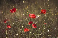 Saying a Prayer. (Joe Effendi) Tags: fujifilmxe1 fuji fujix effendi flora flower nature outdoor color m42 vintagelens meyeroptikgrlitzoreston50mmf18 oreston oreston50mm 2016 bloom dof