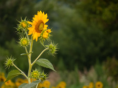 20160723-IMG_0031 (MandoCatDSM) Tags: sunflowers badger creek wildflowers sunrise