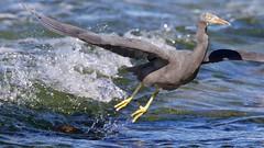Almost wet (Geoff Main) Tags: australia bird canon7dmarkii canonef300mmf28lisiiusm canonefextender20xiii easternreefegret nsw nswsouthcoast rockshelf sea easternreefheron nswsouthcoastaustraliabirdcanon7dmarkiicanonef300mmf28lisiiusmcanonefextender20xiiieasternreefegretmoruyaheadsnswnswsouthcoastpedropointrockshelfsea