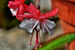 ~~La petite danseuse toile sous la pluie...~~ (Jolisa) Tags: macro fleur flower gouttelettes pluie eau aot2016 fushia