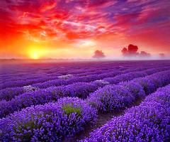 Lavender Garden - Reduces inflammation, calms the mind and promotes restful sleep. http://www.massageenvy.com/massage.aspx (massageenvyspahawaii) Tags: massageenvyhi kaneohe kapolei pearlcity pearlcityhighlands aromatherapy lavender health wellness relaxation antistress antiaging beauty joy happiness