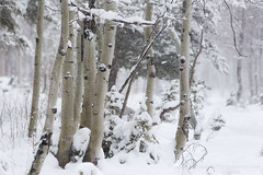 Aspen Grove in Snow Storm (Free Roaming Photography) Tags: americansouthwest arizona arizonatrail aspentrees blizzard coloradoplateau desertsouthwest hikingtrail kaibabnationalforest kaibabplateau northernarizona snow snowstorm snowfall snowing winterweather jacoblake unitedstates
