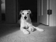 Portrait (Van Allen Belt) Tags: dog jackrussellterrier tennis ball olympus ep2 17mm f18 manualfocus