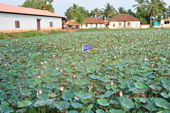 A private lotus farm as we head out of Alleppey (oldandsolo) Tags: kerala india godsowncountry keralabackwaters coastalkerala coastalscenery alleppey alapuzha lifeonthewater backwaterscruise naturephotography takingpictures seascape canal channel inlandnavigation shore narrowchannel bush overgrown lushvegetation housesbythecanal livingofftheland naturalbeauty swamp marshland wetlands horticulture lotuscultivation lotusflower lotusfarm