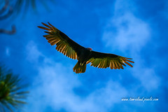 Hovering Turkey Vulture (tclaud2002) Tags: vulture bird turkeyvulture buzzard fly flying hover hovering flight sky bluesky dupuis managementarea nature wildlife martincounty florida