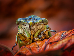 One Child Left to Carry On (kathybaca) Tags: animal insects bugs cicadas cicada buzz summer creature happy hot weather invertabrates life nature wildlife fly trees sing macro planet earth insect