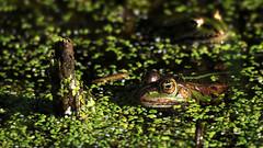 Kiss the Frog (Nephentes Phinena ) Tags: fehmarn nikond300s wasservogelreservatwallnau frosch wasserfrosch waterfrog frog