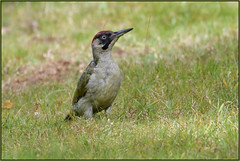 Green Woodpecker (image 1 of 2) (Full Moon Images) Tags: rspb sandy lodge thelodge wildlife nature reserve bedfordshire bird green woodpecker