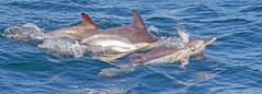 Common Dolphins (coopsphotomad) Tags: dolphins mammal commondolphin sea wildlife nature marine swimming calf