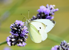 Lavender lover. (pstone646) Tags: white butterfly insect animal nature wildlife closeup lavender flower plant ashford kent fauna flora