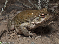 Sonoran Desert Toad (WildernessShots.com) Tags: herps amphibians toad arizona sonoradesert
