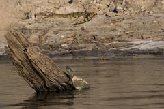 Turtle with Croc (XNBZ) Tags: zambia africa zambeziriver