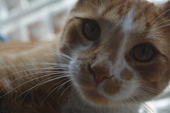 7. (rojakanna) Tags: cat gato cats pets mascotas nikond5200 nikon d5200 medelln colombia