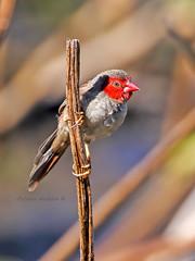 Crimson Finch female (Neochmia phaeton) (Arturo Nahum) Tags: darwin australia birdwatcher bird animal outdoor wildlife nature crimsonfinchfemale neochmiaphaeton