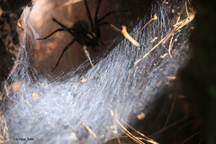 Hairy Legs (tripod_treker) Tags: spiders spiderweb wolfspider insects crawlinginsects efs55250mmf456isstm pineneedles sticks