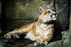 Day 217 - Mountain Lion (moyesphotography) Tags: mountainlion louisvillezoo
