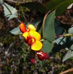 wildflower WA P1180382 (Steve & Alison1) Tags: gastrolobium spinosum fabaceae yellow red pea flower prickly poison wa wildflower