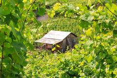 Wineshed (RunningRalph) Tags: bernkastelkues deutschland druiven duitsland germany grape rheinlandpfalz