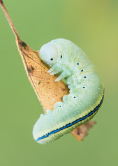 little alien (Globetrotter_J) Tags: raupe caterpillar alien soon butterfly nature cuddling leaf blatt natur schmetterling macro makro garden