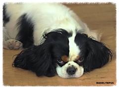 YAGO (MANELYMPUS) Tags: yago cavalier cavalierkingcharlesspaniel uro olympus manelympus gos perro dog omdem1 em1 zuikoed5020