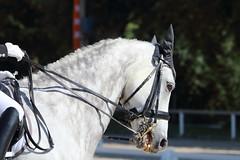 IMG_7360 (dreiwn) Tags: dressage dressur dressuur pferd reitturnier turnierreiten pferdesport horse horseback horseriding equestrian reitverein dressurprfung kandare doublebridle reiten pferde reitplatz ridingarena