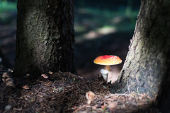 Toadstool (Anatoly S. photography) Tags: mushroom light toadstool